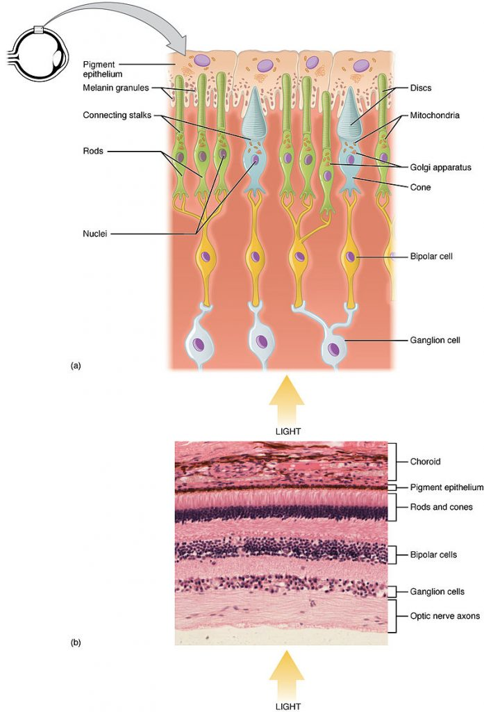 Difference Between Rod and Cone Cells