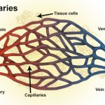 Difference Between Sinusoids and Capillaries