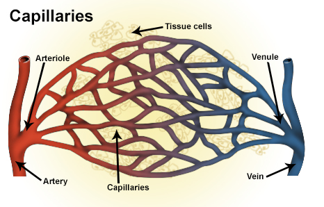 Key Difference Between Sinusoids and Capillaries