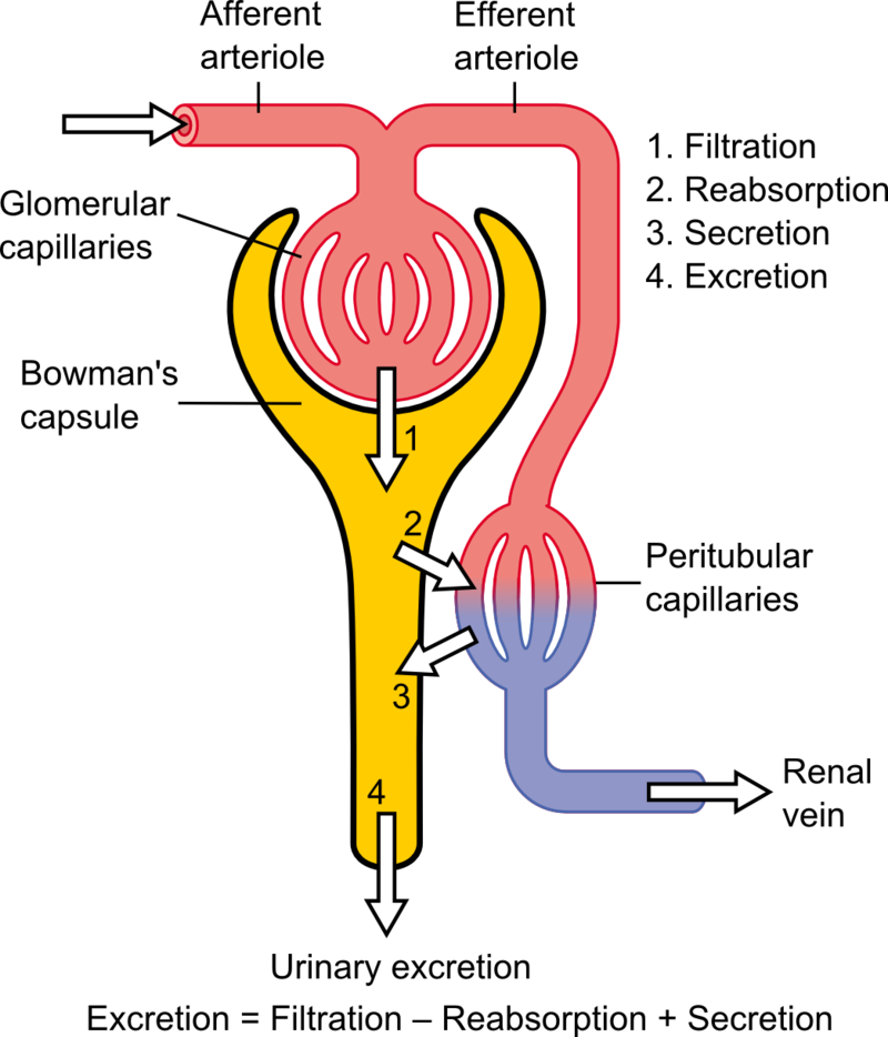 Difference Between Afferent and Efferent Arterioles