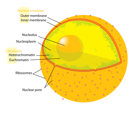 Key Difference Between Cell Membrane and Nuclear Membrane