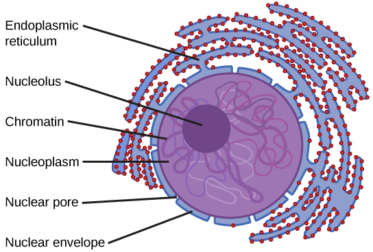 Key Difference Between Cytoplasm and Nucleoplasm