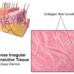 Difference Between Dense Regular and Dense Irregular Connective Tissue