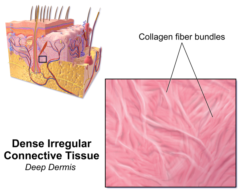 Key Difference Between Dense Regular and Dense Irregular Connective Tissue