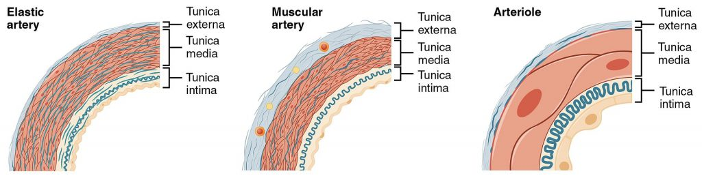 Difference Between Elastic and Muscular Arteries