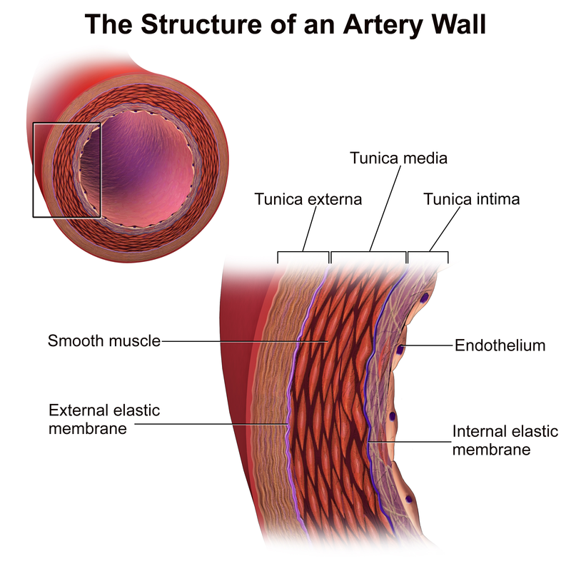 Key Difference Between Elastic and Muscular Arteries