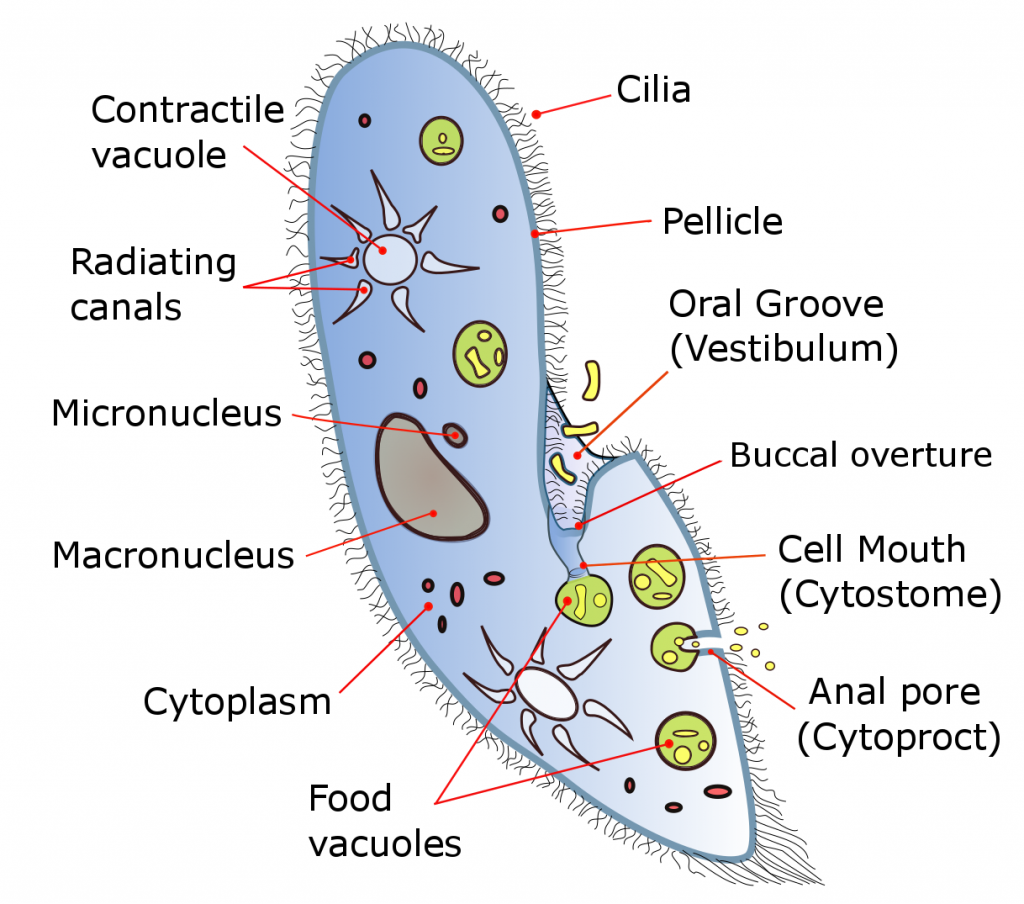 Key Difference Between Food Vacuole and Contractile Vacuole