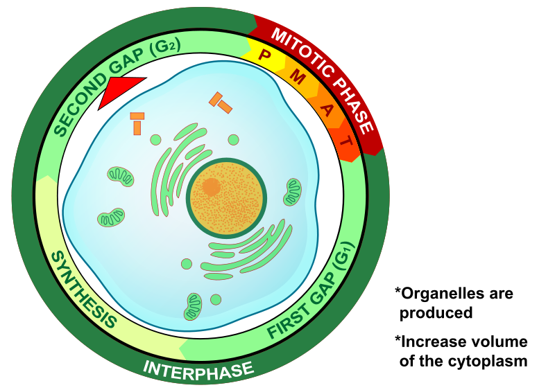 Key Difference Between G1 and G2 phase of Cell Cycle