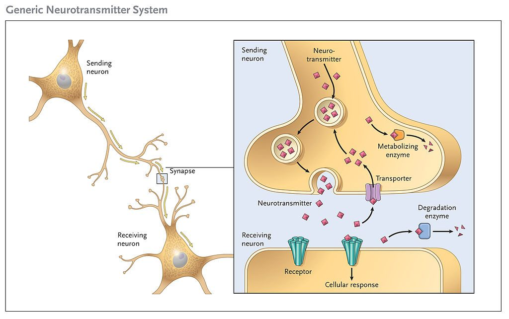 Key Difference Between Neurons and Neurotransmitter