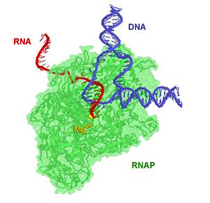 Difference Between Prokaryotic and Eukaryotic RNA Polymerase