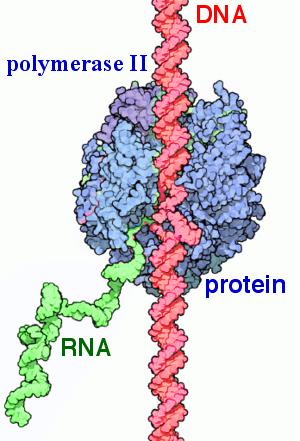 Key Difference Between Prokaryotic and Eukaryotic RNA Polymerase
