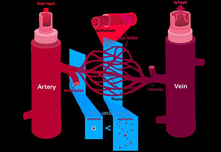 Key Difference Between Vein and Venule