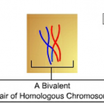 Difference Between Bivalent and Chiasmata in Meiosis