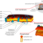 Difference Between Cell Membrane and Cytoplasm