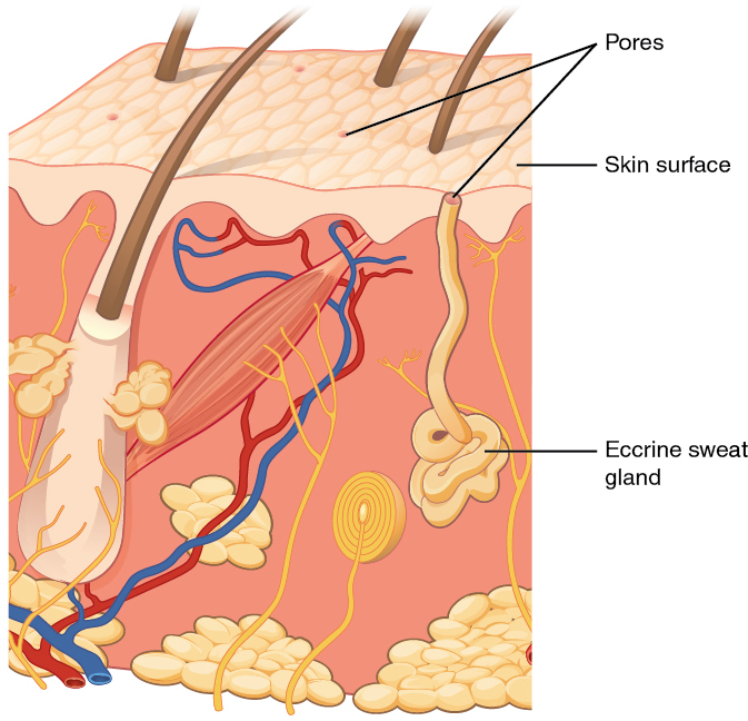 Difference Between Eccrine and Apocrine