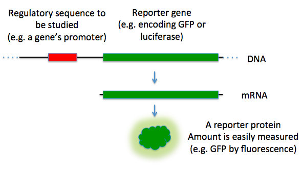 Key Difference Between Enhancer and Promoter