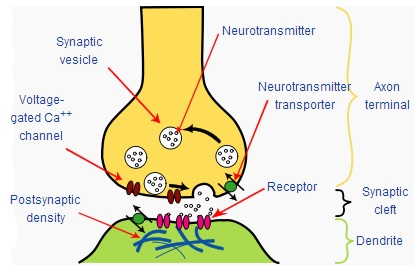 Key Difference Between Ganglion and Synapse