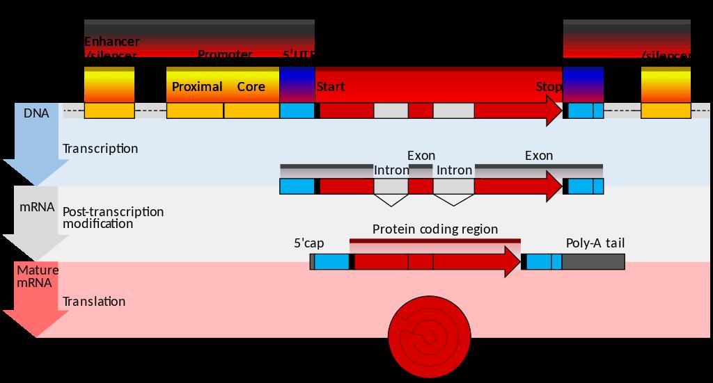Key Difference Between Prokaryotic and Eukaryotic mRNA