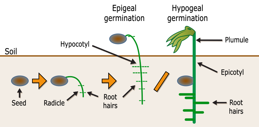 Key Difference Between Radicle and Plumule