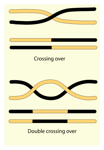 Difference Between Recombination and Crossing Over