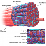 Difference Between Sarcolemma and Sarcoplasmic Reticulum