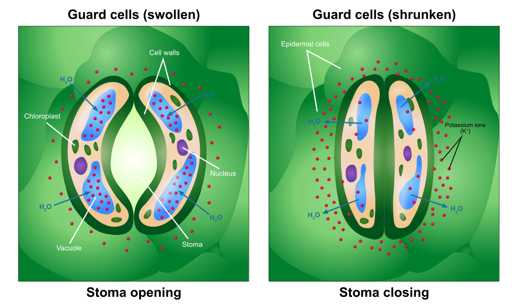 Difference Between Stomata and Lenticels
