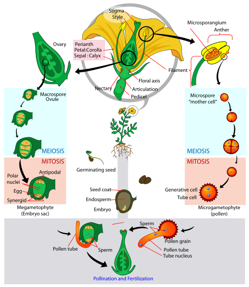 Key Difference Between Vegetative and Generative Cell