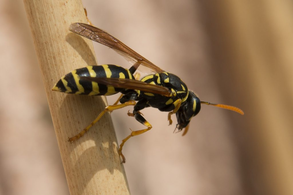 difference between wasp and hornet sting l wasp vs hornet