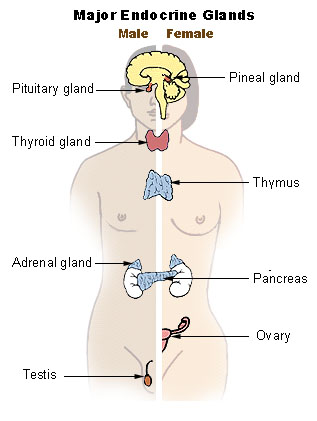 Difference Between Endocrine and Exocrine