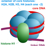 Difference Between Histones and Nucleosomes
