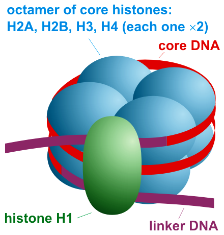 Key Difference Between Histones and Nucleosomes