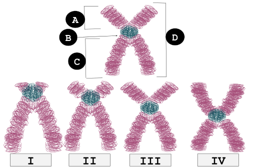 Key Difference Between Metacentric and Submetacentric Chromosomes