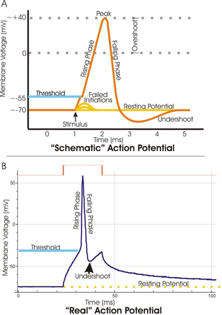 Key Difference Between Resting Potential and Action Potential