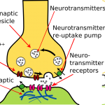 Difference Between Synapse and Synapsis