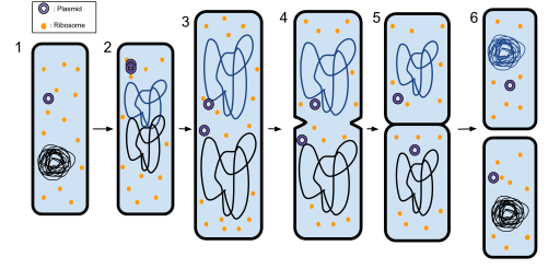 Key Difference Between Clone and Asexual Reproduction