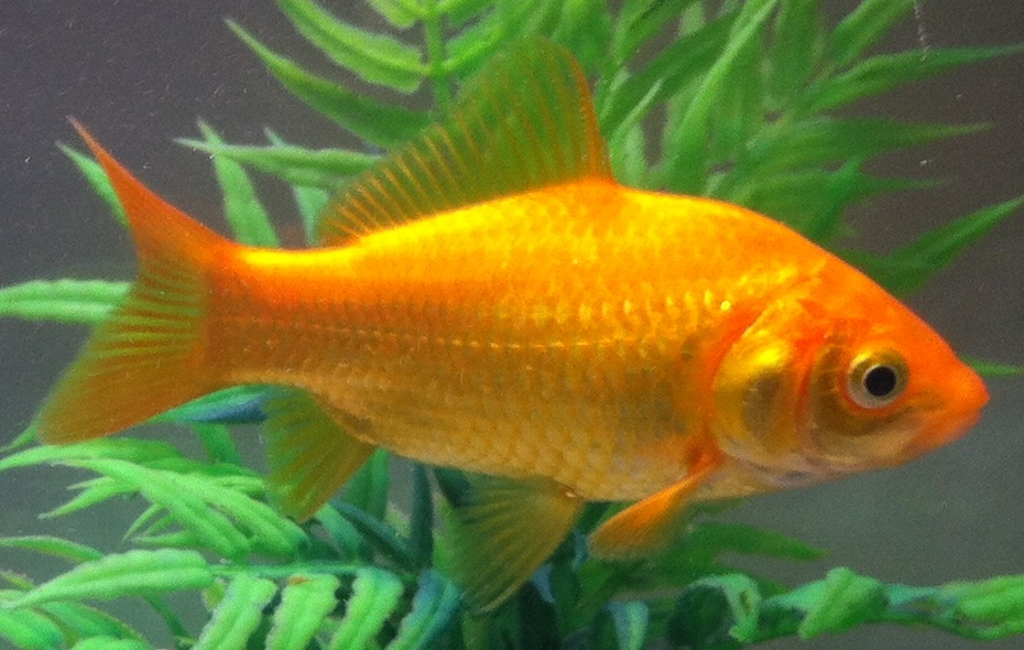 Gold Fishes Photos Difference Betw...