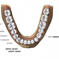 Key Difference Between First and Second Premolar
