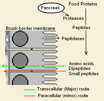 Difference Between Paracellular and Transcellular Diffusion