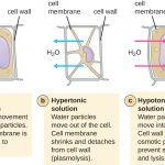 Difference Between Plasmolysis and Cytolysis