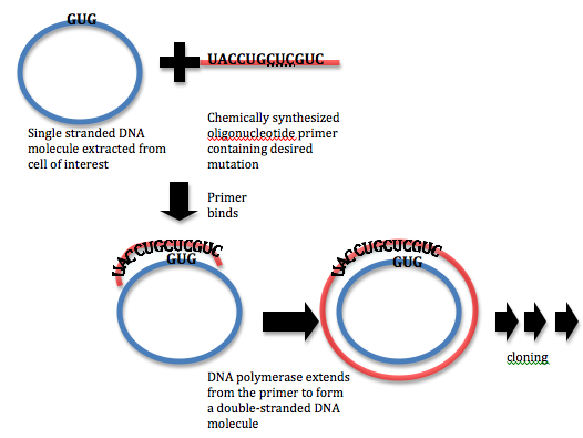 Difference Between Random Mutagenesis and Site Directed Mutagenesis