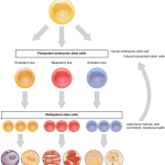 Difference Between Stem Cells and Differentiated Cells